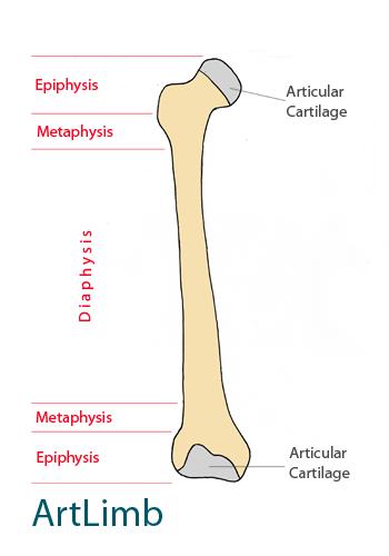 Bone_structure_1