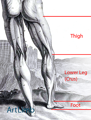Lower_Limb_Segments_1